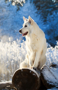 White Shepherd in winter