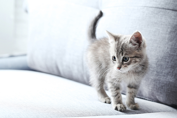 Kitten standing on a sofa