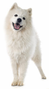 Adult Samoyed