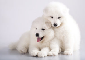 Samoyed puppies