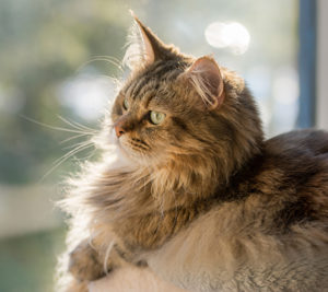 Maine Coon looking out the window