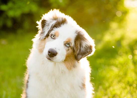 Australian Shepherd looking cute, tilting its head