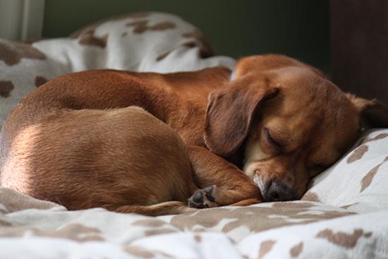 Sleeping dog curled up
