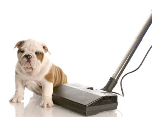 Bulldog puppy and vacuum cleaner