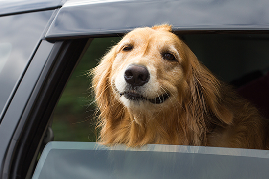 Happy dog in the car