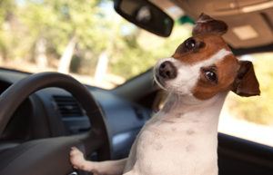 Jack Russell going for a ride