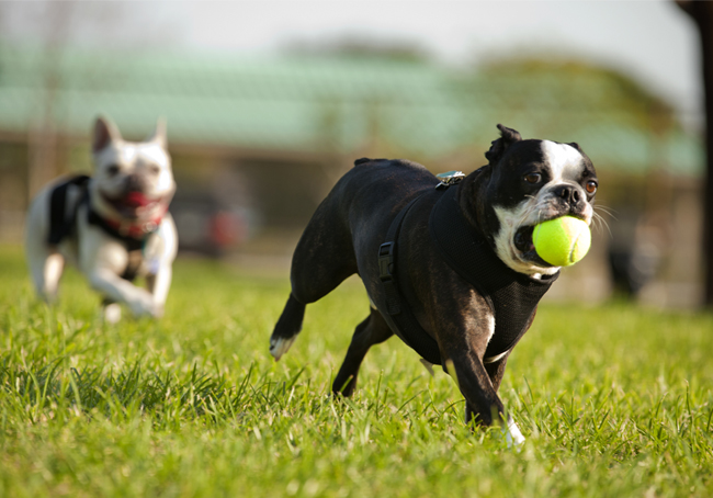 French Bulldogs running and playing