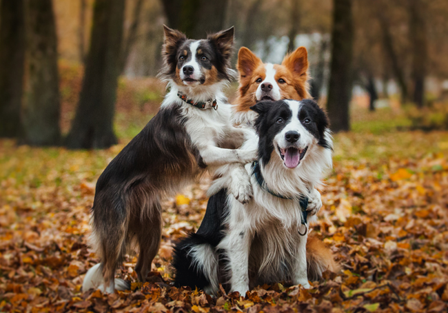 A pile of Border Collies