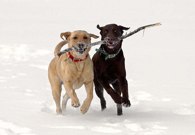 Labradors playing
